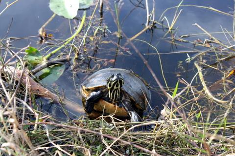 a vain turtle
