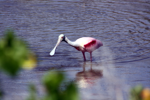 roseatte spoonbill at Eco Pond